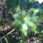 Castor bean