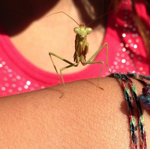 Climber the Praying Mantis